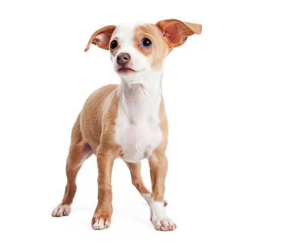 Puppy\u0026#39;s Ears Don\u0026#39;t Stand Up | ThriftyFun