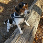 Beagle with front feet on a log