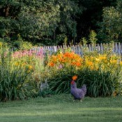 Chicken walking along side a flower bed