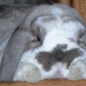 Starbuck (Rabbit)