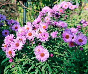 perennial asters