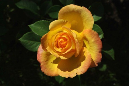 beautiful yellow and orange rose