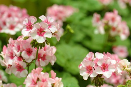 Geraniums with pink and white flowers