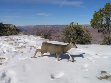 Deer Family in Winter at Grand Canyon