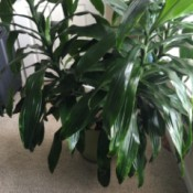 tall multi branched plant with dark green leaves