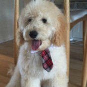 Milo wearing a neck tie
