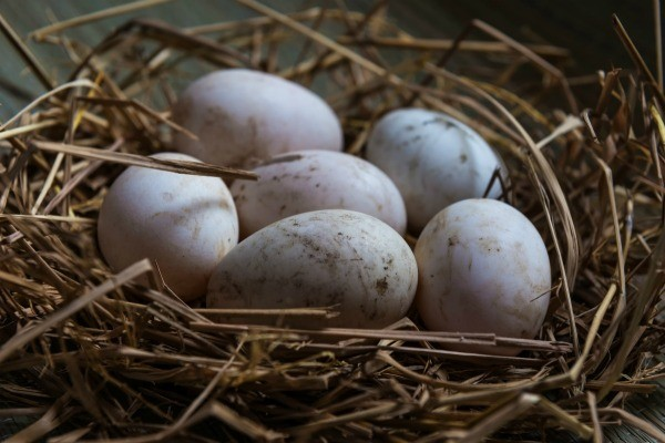 Six duck eggs in a nest