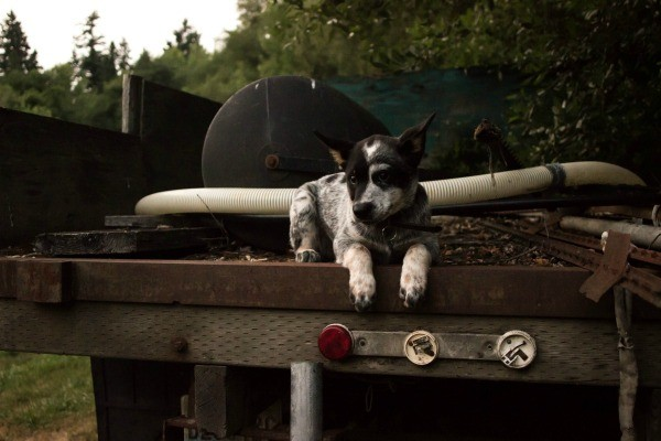 Dog laying in the back of an old open bed  truck