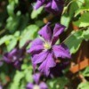 Purple Clematis growing on a lattice fence