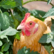 Chicken in tomato plants