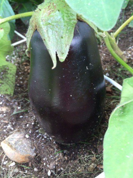 beautiful eggplant