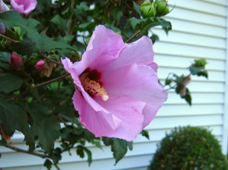 Rose of Sharon bloom against the side of a house