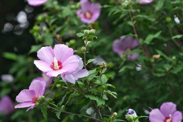 Rose of Sharon plant in bloom