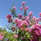 Crepe Myrtle Tree with flowers and leaves