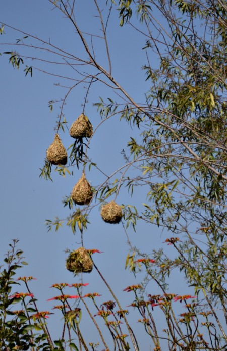 Finch nests in tree in South Africa
