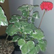 two color leaved red flowering geranium