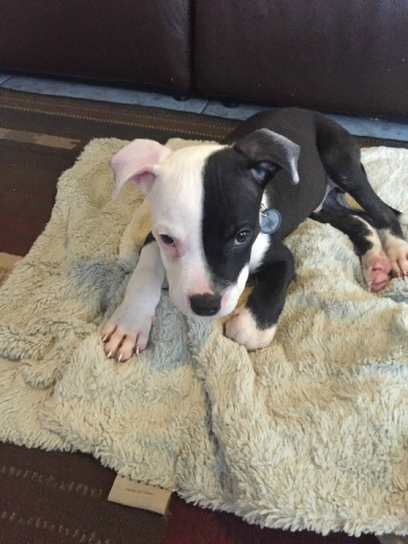 black and white Pit puppy