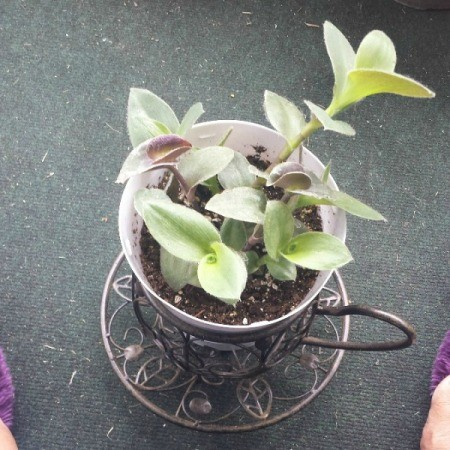 plant in tea cup planter