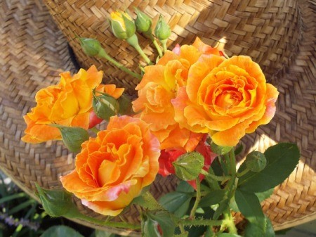 orange Piñata rose flowers
