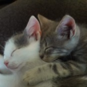 a tabby and a white and gray kitten