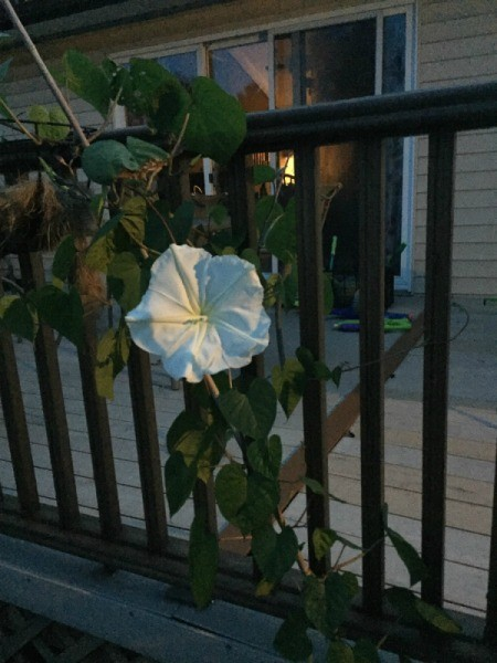 moonflower on deck railing