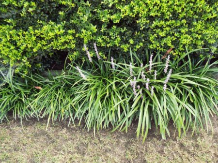 Controling And Dividing Liriope (Monkey Grass)