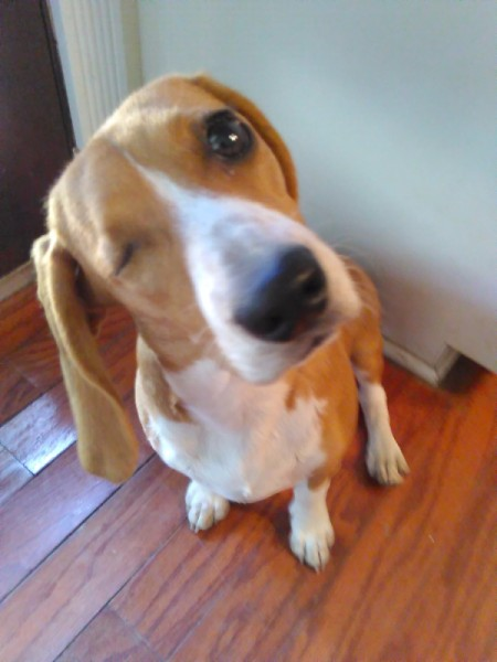 Penny the One-Eyed Hound (Beagle/Mini Bassett Hound)