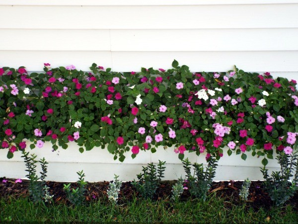 multitude of impatiens