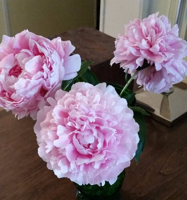 pink peonies from my garden thriftyfun