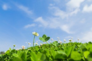 how to get rid of clover without harming grass