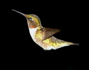 Rufus - Ruby-throated  Hummingbird
