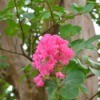 Crepe Myrtle branch with blossoms