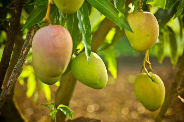 how to make mango trees bear fruit quickly