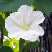 moonflower (Ipomoea Alba)