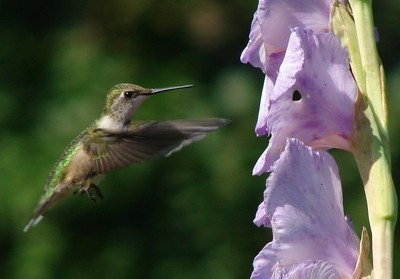 hummingbird at gladiolus