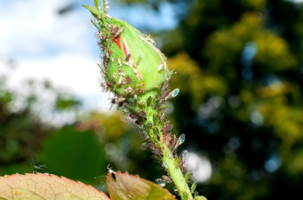 Aphids on Roses
