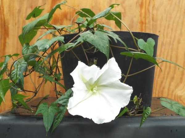moonflower with bloom growing in a pot