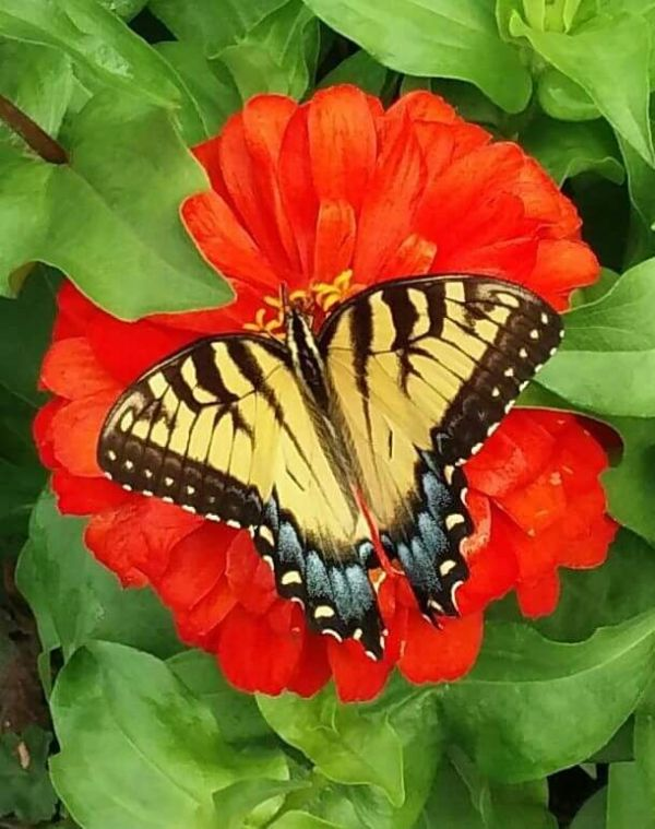 Butterfly on Zinnia