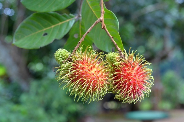 rambutan tree photos  thriftyfun, Natural flower