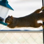 Squirrel precariously reaching from a branch to a bird feeder