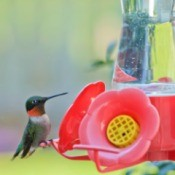Hummingbird on a red hummingbird feeder