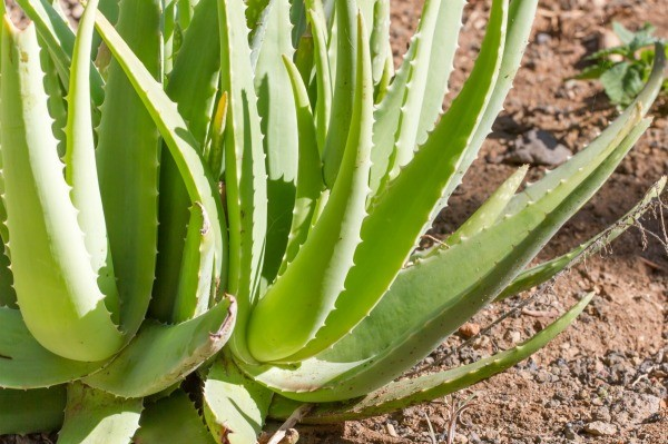 Aloe vera plant that is harmful to dogs.