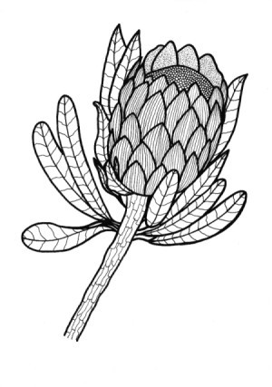 Sugarbush (Protea) image as adult coloring page element