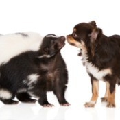 Chihuahua and skunk touching noses