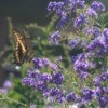butterfly on bush with purple blooms
