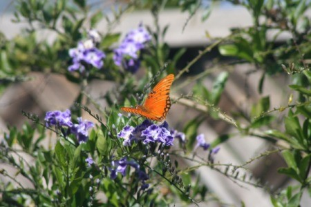 orange butterfly on purple flowers