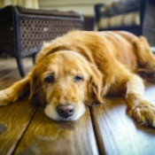 Senior dog laying on wood floor in home, looking sad