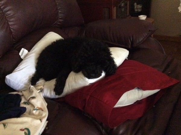 Lucy black poodle