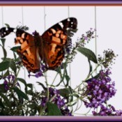 tattered butterfly on butterfly bush