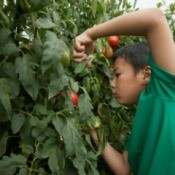 Boy taking a cutting from a large tomato plant